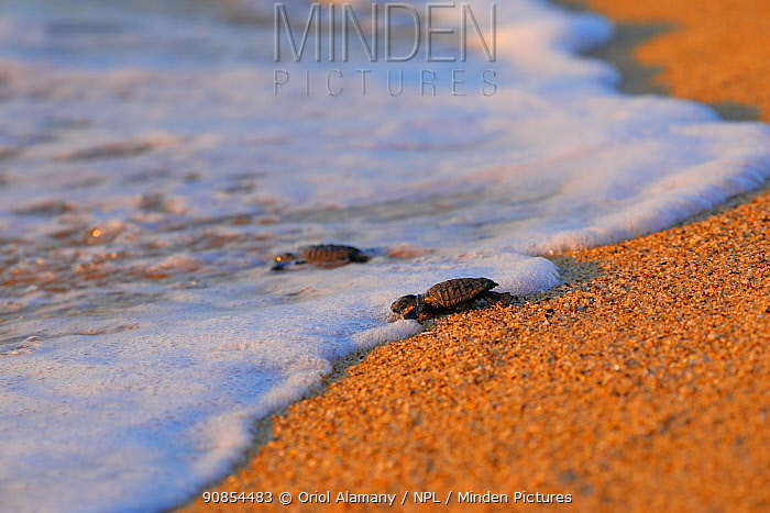 Green turtle (Caretta caretta) going to the sea in Barcelona city beach, Catalonia, Spain, August. These are from the first sea turtle nest in Barcelona. August 2020