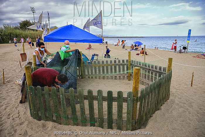 CRAM volunteers cover a loggerhead turtle (Caretta caretta) nest from the rain on the beach, protected and guarded to avoid disturbances, Barcelona, Catalonia, Spain, August. These are from the first sea turtle nest in Barcelona. August 2020
