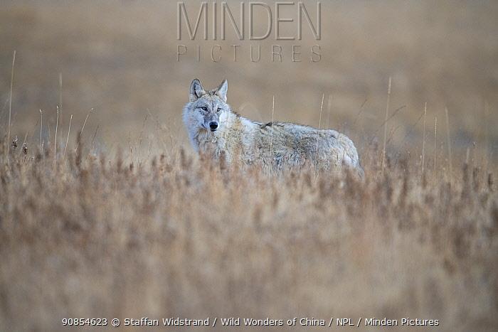Tibetan wolf (Canis lupus filchneri) in the semi-desert of the Dulan Nature Reserve, Tibetan Plateau, Qinghai, China