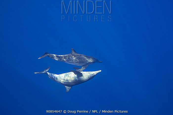 Rough-toothed dolphins ( Steno bredanensis) off Keauhou, Kona, Hawaii.