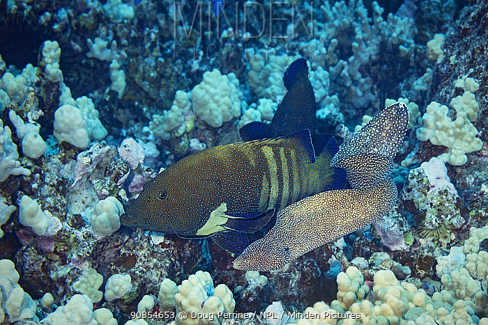 Hunting coalition of Peacock groupers (Cephalopholis argus) and Whitemouth moray eel, (Gymnothorax meleagris) Honokohau, North Kona, Big Island, Hawaii, USA