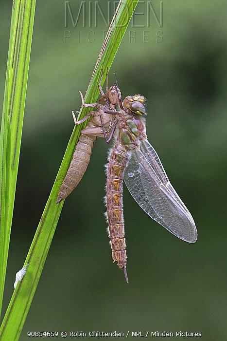 Hairy hawker dragonfly (Brachytron pratense) freshly emerged from exuvia. Norwich, Norfolk, England, UK. May.