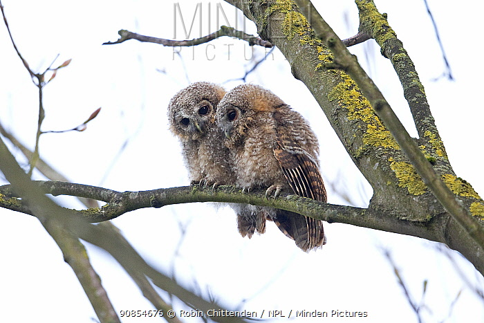 Tawny owl (Strix aluco), two fledglings perched in tree. Norwich, Norfolk, England, UK. April.