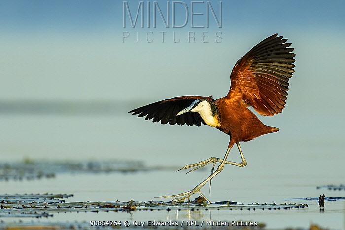African jacana (Actophilornis africanus) in flight, landing on lilypads. Chobe River, Chobe National Park, Botswana.