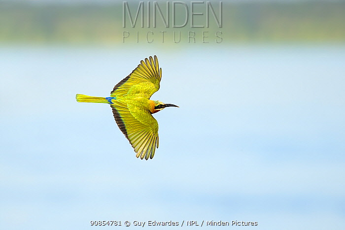 White-fronted bee-eater (Merops bullockoides) in flight. Chobe River, Chobe National Park, Botswana.