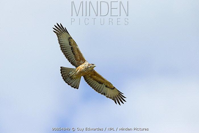 African hawk-eagle (Aquila spilogaster) juvenile in flight. Savuti, Chobe National Park, Botswana.