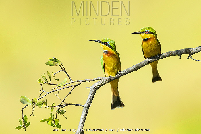 Little bee-eater (Merops pusillus) pair perched on branch, looking in same direction. Savuti, Chobe National Park, Botswana.