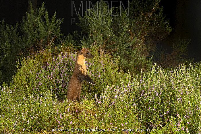 Pine marten (Martes martes) standing on hind legs to see over Heather, at night. Black Isle, Highlands, Scotland, UK. August. Camera trap image.