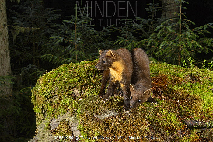 Pine marten (Martes martes) female and kit standing amongst moss in coniferous forest at dusk. Loch Lomond and The Trossachs National Park, Scotland, UK. July. Camera trap image.