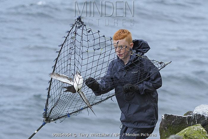 Gabriel Sigurourson retrieving Razorbill (Alca torda) caught with traditional long-handled net, on coast. Grimsey Island, Iceland. July 2019.