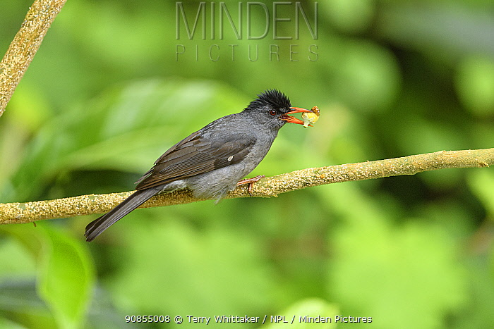 Malagasy bulbul (Hypsipetes madagascariensis) feeding, perched on branch with food in beak. Mantadia Forest, Madagascar.