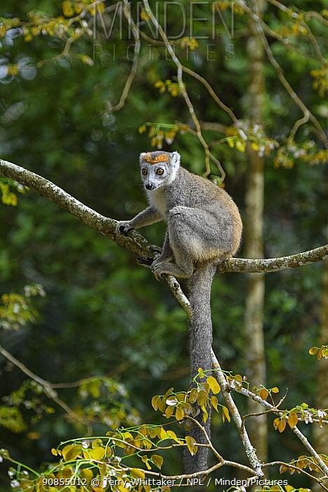 Crowned lemur (Eulemur coronatus) female sitting in tree. Palmarium Reserve, Madagascar.