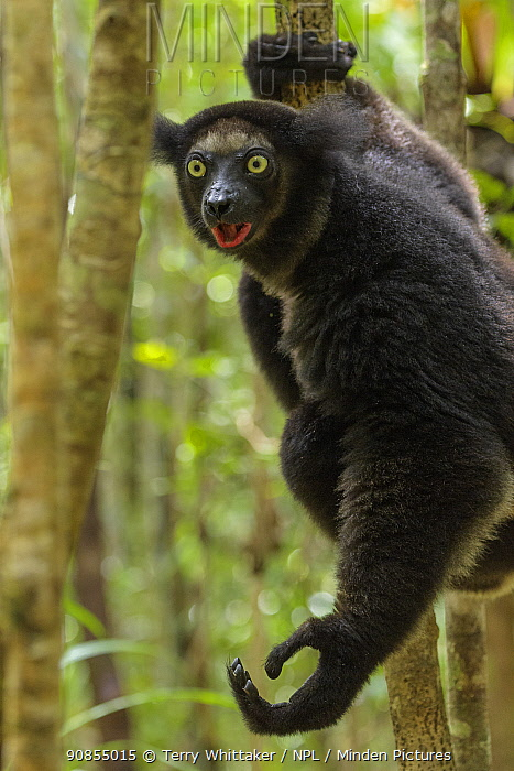 Indri (Indri indri) vocalising and holding out hand ready to jump to another tree. Palmarium Reserve, Madagascar.