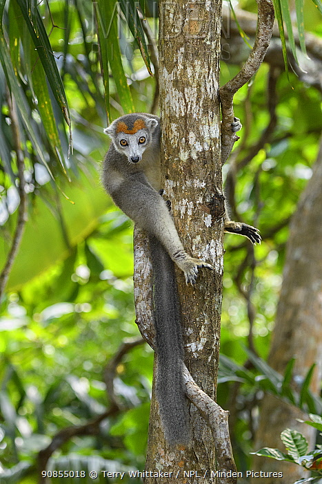 Crowned lemur (Eulemur coronatus) female on tree trunk. Palmarium Reserve, Madagascar.