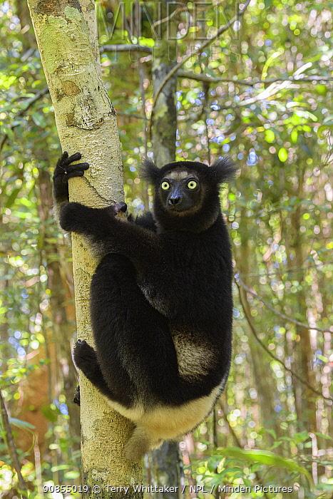 Indri (Indri indri) on tree trunk. Palmarium Reserve, Madagascar.