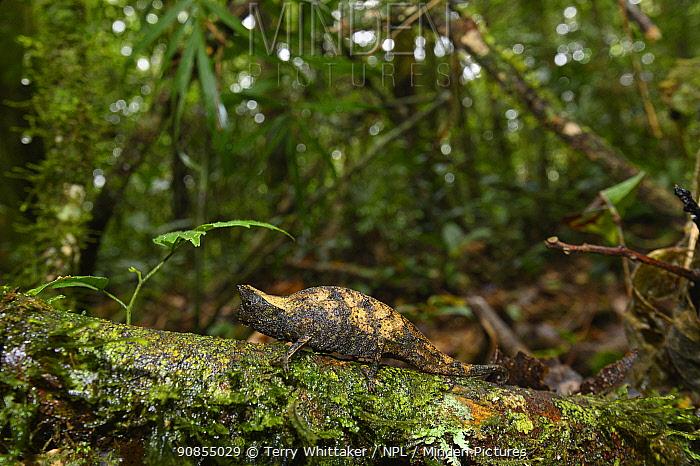 Stump-tailed chameleon (Brookesia superciliaris) on log in rainforest. Ranomafana National Park, Madagascar.