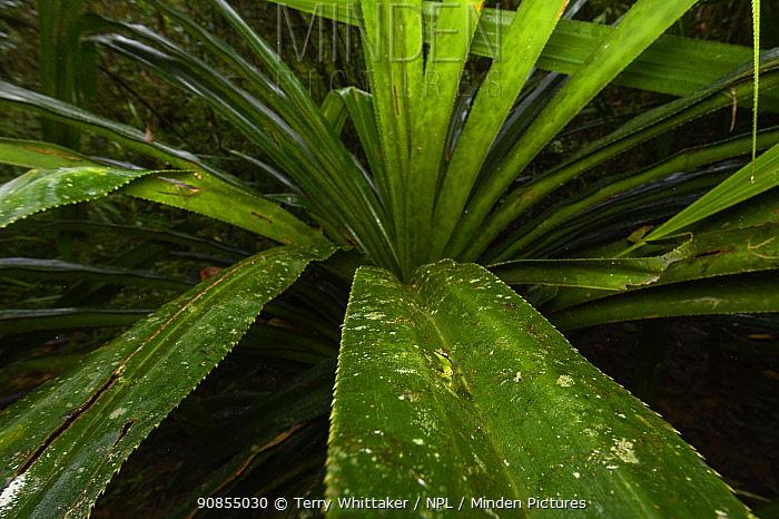 Tsarafidy Madagascar frog (Guibemantis pulcher) on leaf. Ranomafana National Park, Madagascar.