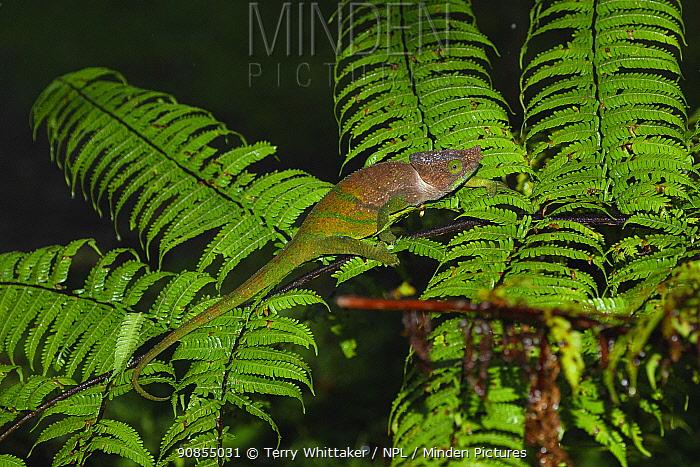 Parson's chameleon (Calumma parsonii) climbing on Fern. Ranomafana National Park, Madagascar.