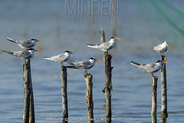 Greater crested tern (Thalasseus bergii) flock perched on posts in Pangalanes Canal, Palmarium Reserve. Lake Ampitabe, Madagascar.
