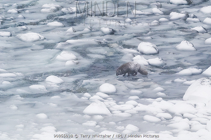 Arctic fox (Vulpes lagopus), blue colour morph in winter coat alongside river on snow and ice covered pebble beach. Hornstrandir Nature Reserve, Iceland. February 2020.
