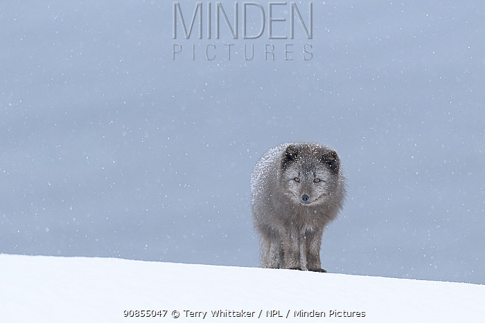 Arctic fox (Vulpes lagopus), blue colour morph in winter coat standing in snow. Hornstrandir Nature Reserve, Iceland. February.