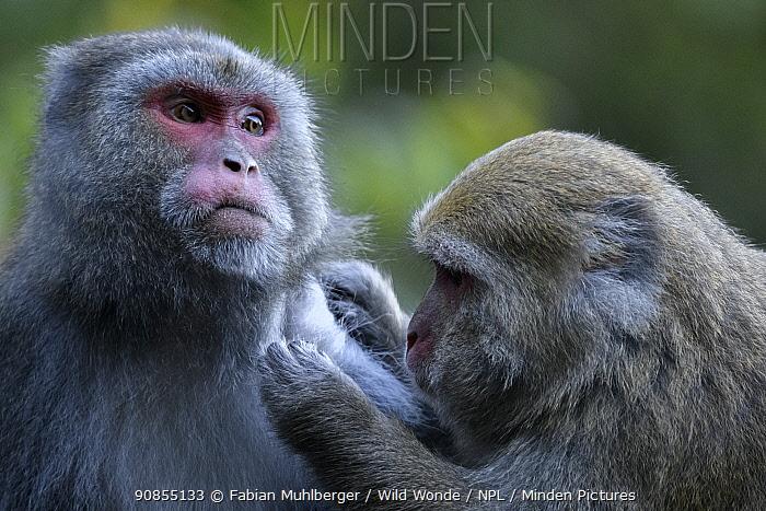 Formosan macaques (Macaca cyclopis) social grooming, Taiwan. Endemic.