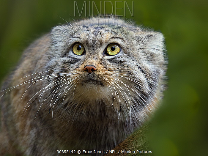 RF - Pallas's cat (Otocolobus manul) portrait. Captive. (This image may be licensed either as rights managed or royalty free.)
