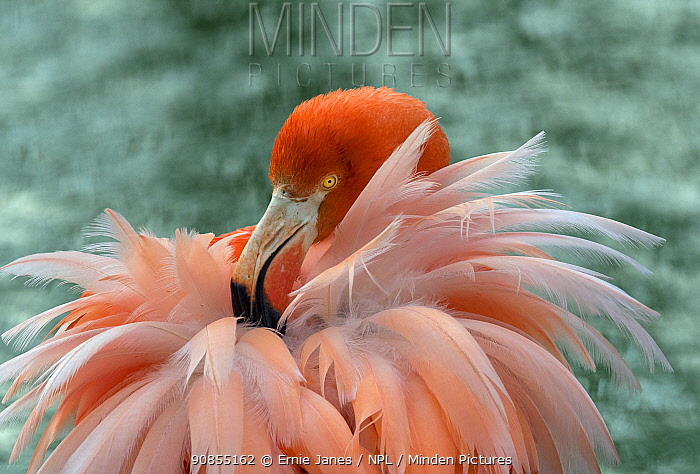 RF - American flamingo (Phoenicopterus ruber) preening feathers. Captive. (This image may be licensed either as rights managed or royalty free.)