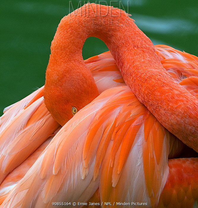 RF - American flamingo (Phoenicopterus ruber) head tucked between wings while preening feathers. Captive. (This image may be licensed either as rights managed or royalty free.)