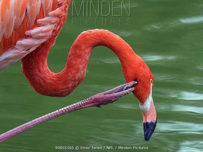 RF - American flamingo (Phoenicopterus ruber) scratching its face. Captive. (This image may be licensed either as rights managed or royalty free.)