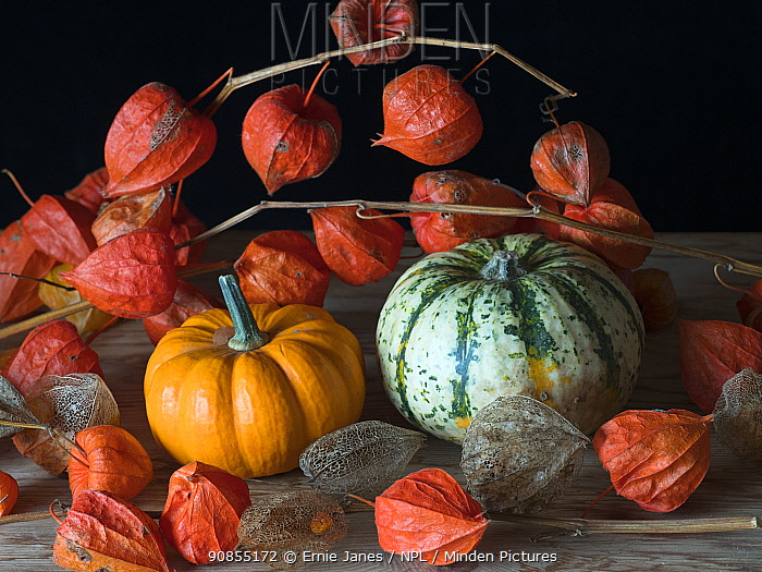 RF - Home-grown pumpkins and Chinese lantern (Physalis alkekengi). (This image may be licensed either as rights managed or royalty free.)