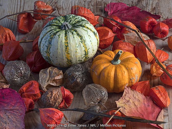 RF - Home-grown pumpkins and Chinese lantern (Physalis alkekengi UK (This image may be licensed either as rights managed or royalty free.)