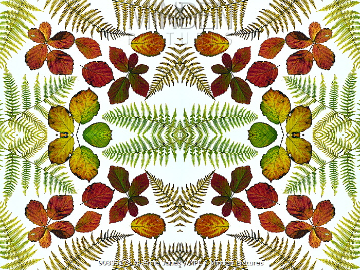 RF - Kaleidoscopic image of Bramble leaves (Rubus fruticosus) and bracken fronds changing colour in autumn. (This image may be licensed either as rights managed or royalty free.)