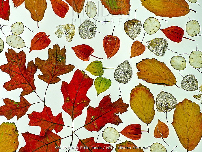 RF - Arrangement of autumn leaves, Honesty seeds and Chinese lantern (Physalis alkekengi) leaves. (This image may be licensed either as rights managed or royalty free.)