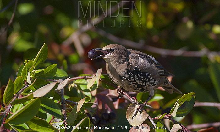 Starling (Sturnus vulgaris) juvenile feeding on berry, South Karelia, southern Finland, September.