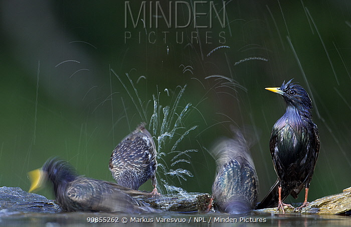 Common Starlings (Sturnus vulgaris) bathing, Hungary May 2007