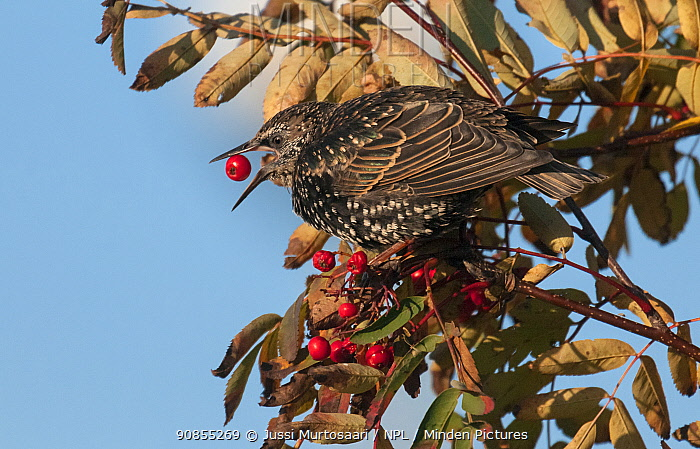 Starling (Sturnus vulgaris) feeding on berries in Rowan tree, Espoo, Uusimaa, Etela-Suomi / South Finland, Finland. September