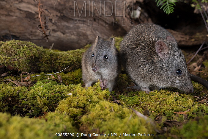 Long-nosed potoroo (Potorous tridactylus) mother and baby. Captive,