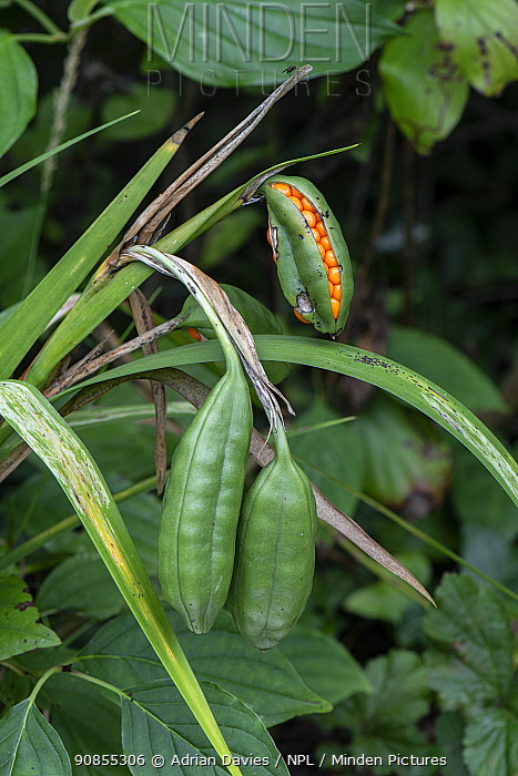 Stinking iris (Iris foetidissima) pods with seeds emerging. Surrey, England, UK. August.