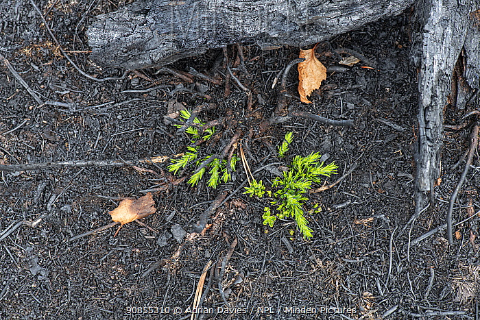 Gorse (Ulex sp) regrowth on charred ground, two weeks after wildfire. Thursley National Nature Reserve, Surrey, England, UK. July 2020.