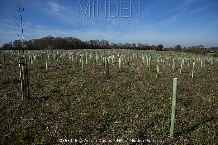 Tree guards protecting saplings at Millennium Wood, conversion by Woodland Trust of arable land into woodland. Langley Vale, Surrey, England, UK. March 2020.