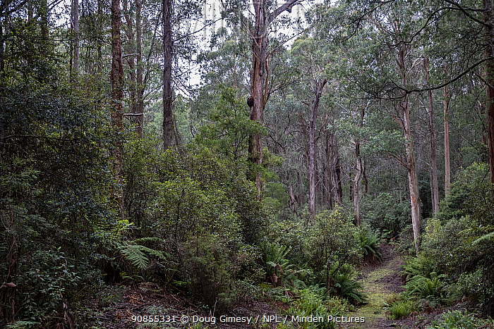 Forest that was due to be logged until conservation groups found a high density of Greater gliders (Petauroides volans) there, and government put a halt to the logging (for now). ??Trees in this forest include grey gum (Eucalyptus punctata), shining gum (Eucalyptus delegatensis), Mountain Grey gum (Eucalyptus cypellocarpa) and Errinundra shining gum (Eucalyptus Denticulata). Steps Track, Errinundra plateau, Bendoc, East Gippsland, Victoria, Australia.? 2020
