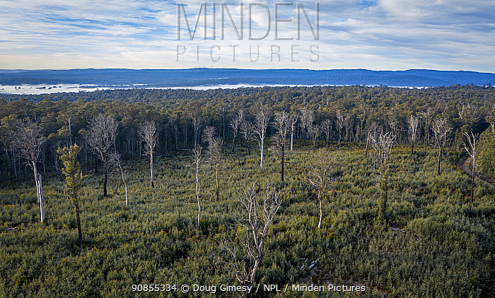 Logged area of native forest in the Errinundra plateau (East Gippsland, Victoria, Australia), with inappropriate regrowth occurring i.e. Acacia instead of Eucalyptus.  This logged area is where greater gliders (Petauroides volans) would have lived, and whilst Greater Glider habitat trees' have been left, many are dead or exposed and will probably fall over. Steps Track, Errinundra plateau, East Gippsland, Victoria, Australia. June 2020
