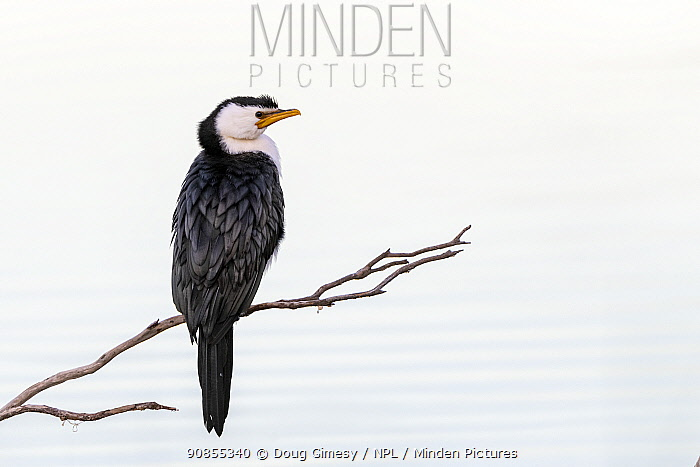 Little pied cormorant (Microcarbo melanoleucos) perched on branch protruding out of water. Eden NSW, Australia.