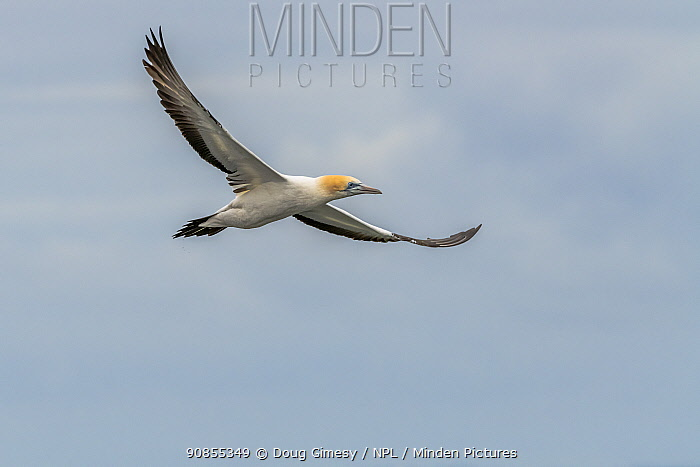 Australasian gannet (Morus serrator) in flight. Sandringham, Victoria, Australia.
