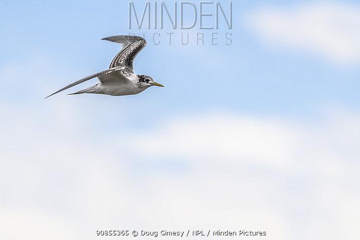 Crested tern (Thalasseus bergii) in flight. Ricketts Point, Beaumaris, Victoria, Australia