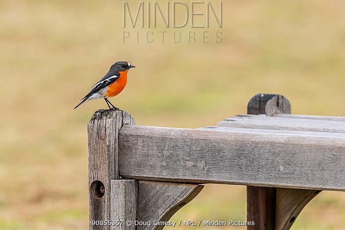 Flame robin (Petroica phoenicea) perched on a park bench. Elwood beach. Elwood, Victoria, Australia.