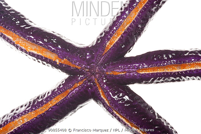 Purple starfish (Tamaria) on white background, Islas Marias Archipelago, Marias Biosphere Reserve, Mexico.