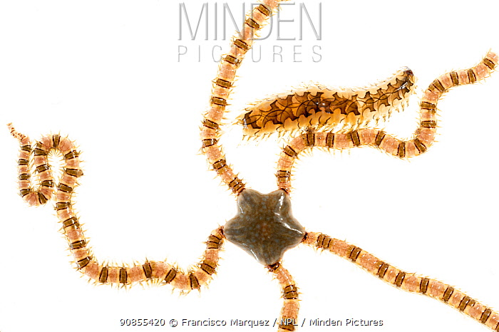 Brittle sea spider (Ophionereis annulata) and polychaete marine worm, on white background, Islas Marias Archipelago, Marias Biosphere Reserve, Mexico.
