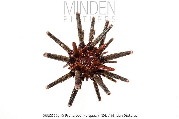 Pencil tip hedgehog sea urchin (Eucidaris thouarsii) on white background, Islas Marias Archipelago, Mexico.